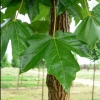 Picture of Acer Miyabei