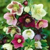 Picture of Helleborus Orientalis Mixed