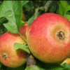 Picture of Apple Blenheim Orange MM106