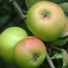 Picture of Apple Bramley Seedling MM106