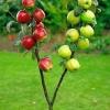 Picture of Apple Dble Braeburn/G Delicious