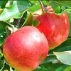 Picture of Apple Dble Splendour/Granny Smith MM106