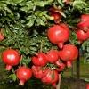 Picture of Pomegranate granatum