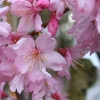 Picture of Prunus Superba L/W