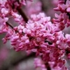 Picture of Cercis Ace of Hearts