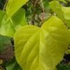 Picture of Tilia Cordata Spring Glow