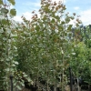 Picture of Populus Crows Nest