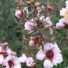 Picture of Leptospermum Blossom