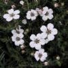 Picture of Adenandra Uniflora