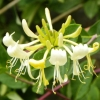 Picture of Lonicera Graham Thomas