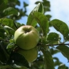 Picture of Apple Slack Ma Girdle M106