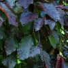 Picture of Fagus Purple Fountain