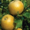 Picture of Apple Egremont Russett M9