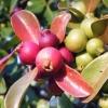 Picture of Psidium Guava Red Cherry