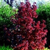 Picture of Liquidambar Little Richard