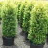 Picture of Juniperus Gold Cone