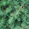 Picture of Juniperus conferta