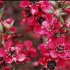 Picture of Leptospermum Red Ensign