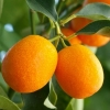 Picture of Kumquat Meiwa Std 60 cm