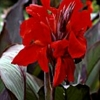Picture of Canna Firebird