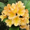 Picture of Clivia Peach Blush