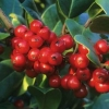 Picture of Ilex Hendersonii