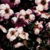 Picture of Leptospermum Magellan