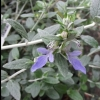 Picture of Teucrium Fruticans 3 ball std