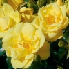 Picture of Flower Carpet Gold-Rose