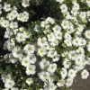 Picture of Arenaria Montana