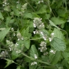 Picture of Catnip