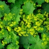Picture of Alchemilla Mollis Thriller