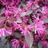 Picture of Loropetalum Firedance