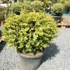 Picture of Buxus Green Gem Balls