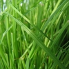Picture of Catgrass