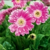 Picture of Gerbera Garvinea Sweet Surprise
