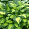 Picture of Hosta Captain Kirk