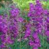 Picture of Penstemon Cha Cha Purple