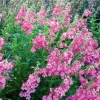 Picture of Penstemon Cha Cha Hot Pink