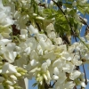 Picture of Wisteria White Silk