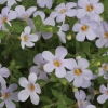 Picture of Bacopa Gulliver Lilac