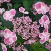 Picture of Hydrangea Macrophylla Reiko
