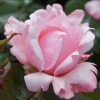 Picture of Valentine Heart-Rose