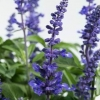 Picture of Salvia Sallyfun Deep Ocean