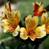 Picture of Alstroemeria Summer Breeze