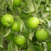 Picture of Apple Granny Smith MM102 Small