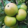 Picture of Apple Sturmer MM102