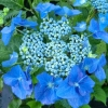 Picture of Hydrangea Nightingale