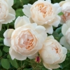 Picture of Wollerton Old Hall-Rose