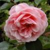 Picture of Aladdin Std 45cm-Rose
